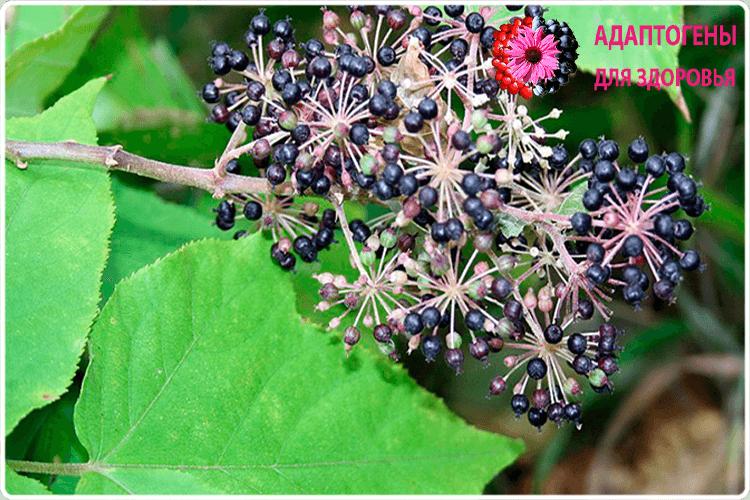 ягоды аралии
